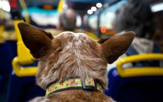 Можно ли в автобусе перевозить собаку